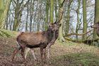 """König des Waldes mit """"halber"""" Krone."""