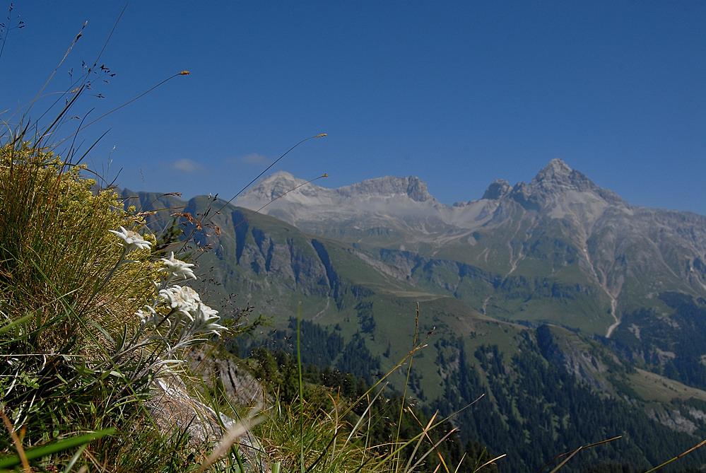 Königin der Alpenblumen
