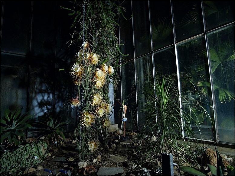 k nigin der nacht selenicereus grandiflorus foto bild pflanzen pilze flechten kakteen. Black Bedroom Furniture Sets. Home Design Ideas