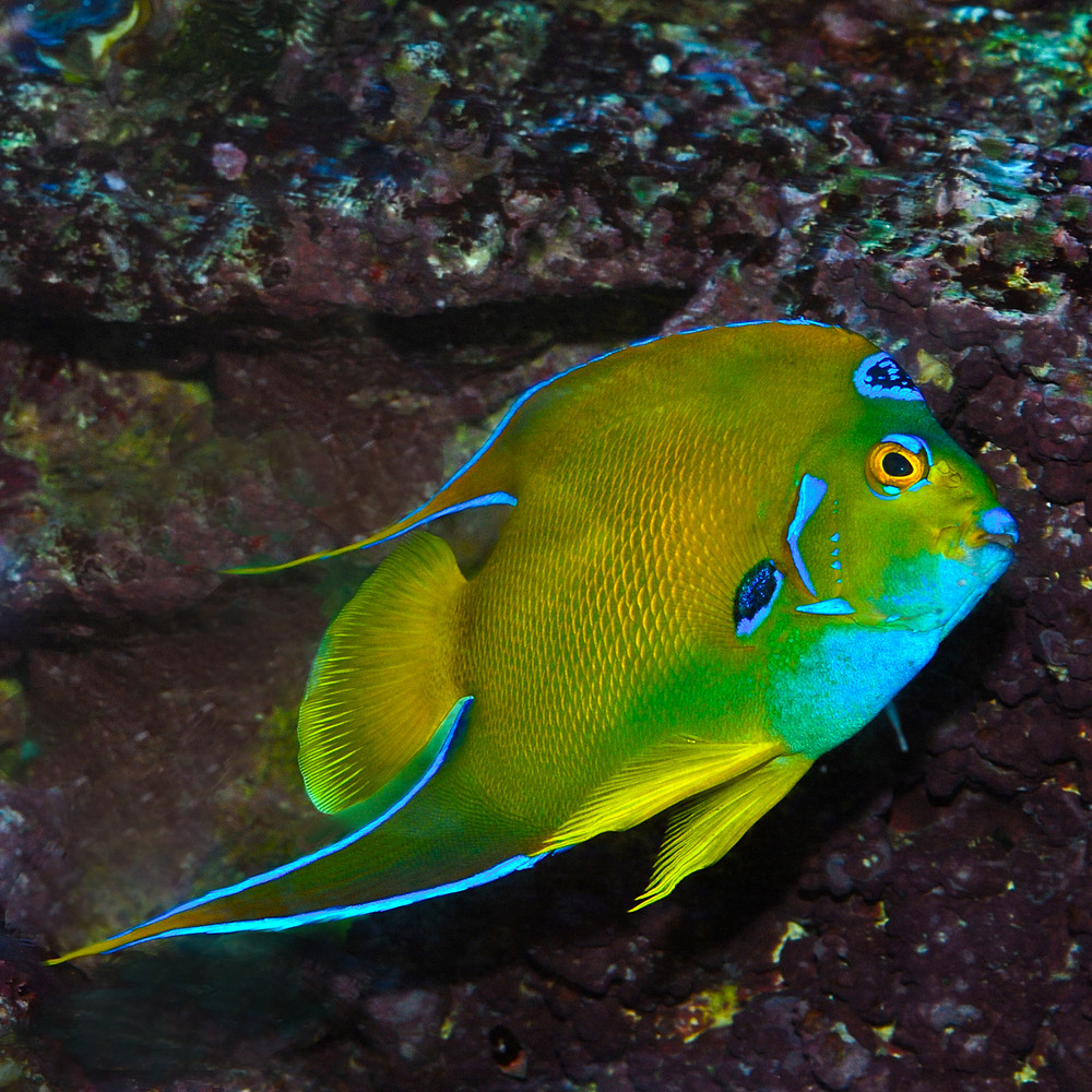 Königin - Kaiserfisch