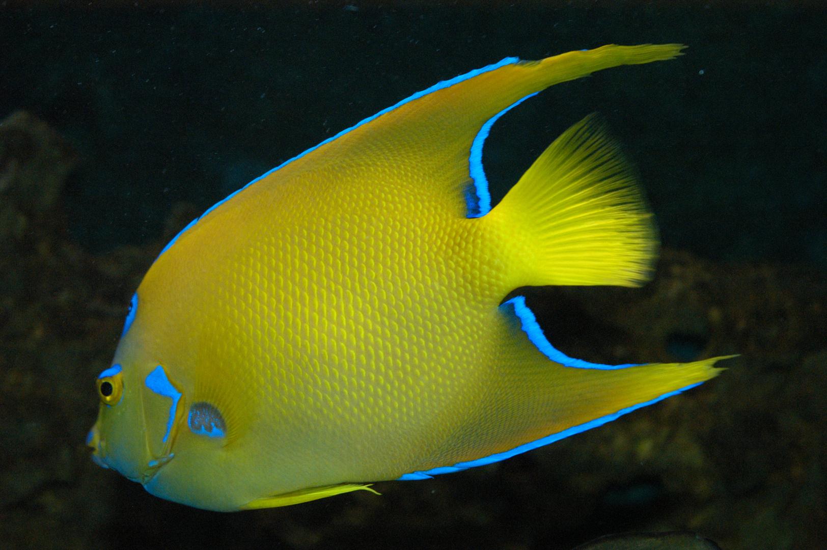 Königin-Kaiserfisch (Holacanthus ciliaris)