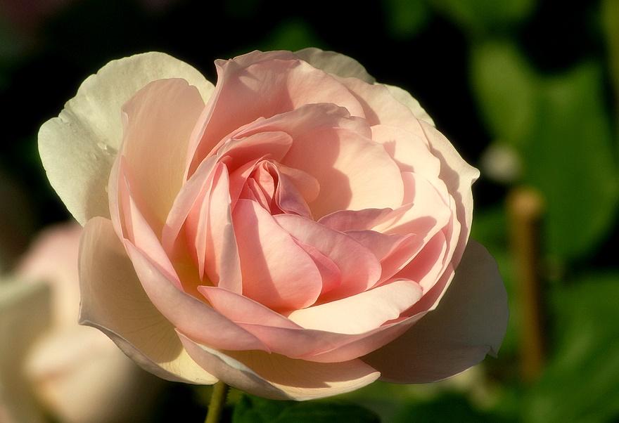 """. . """"Königin Rose"""". ."""