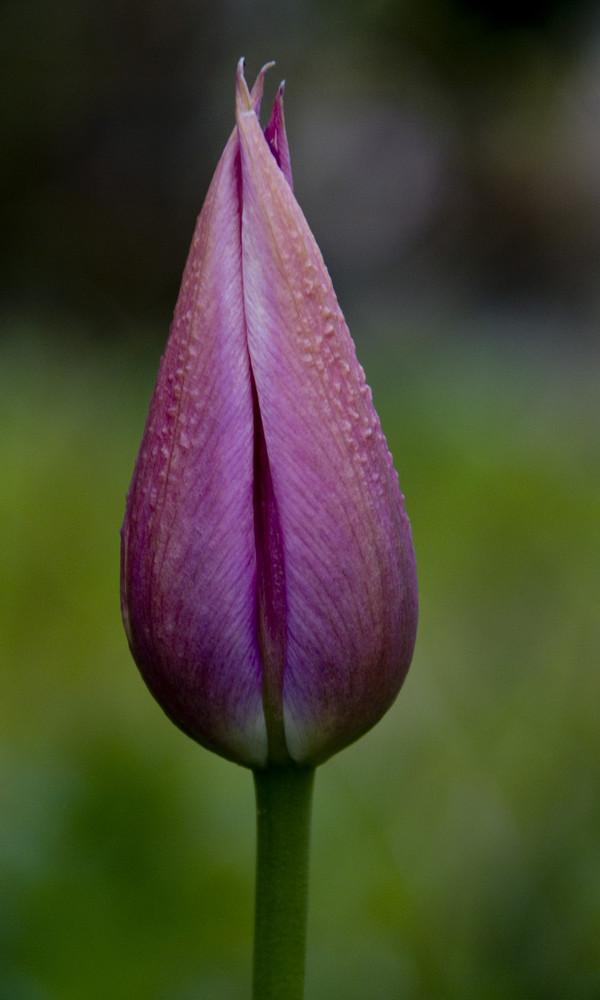 Königin Tulpe