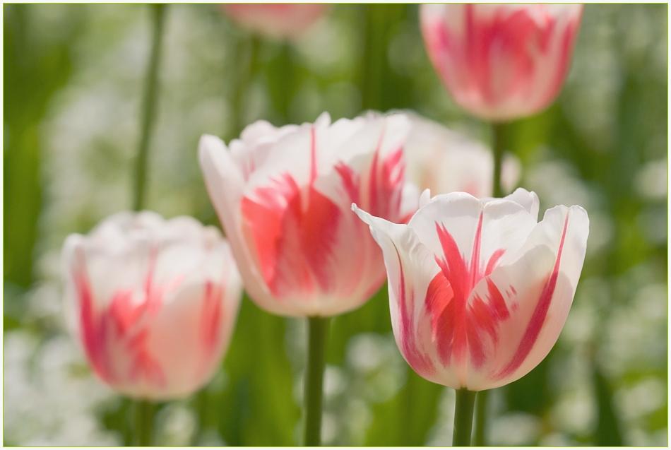 Königliche Tulpen
