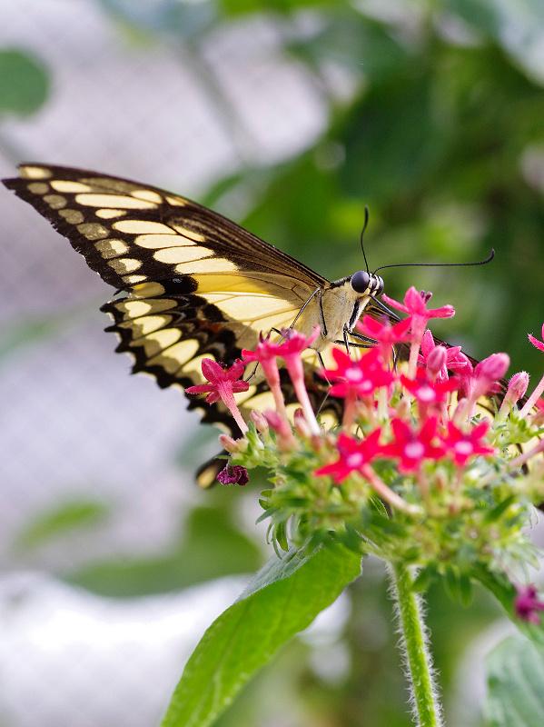 Königs Schwalbenschwanz - Papilio thoas Nr. 1