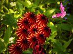 Königsblume