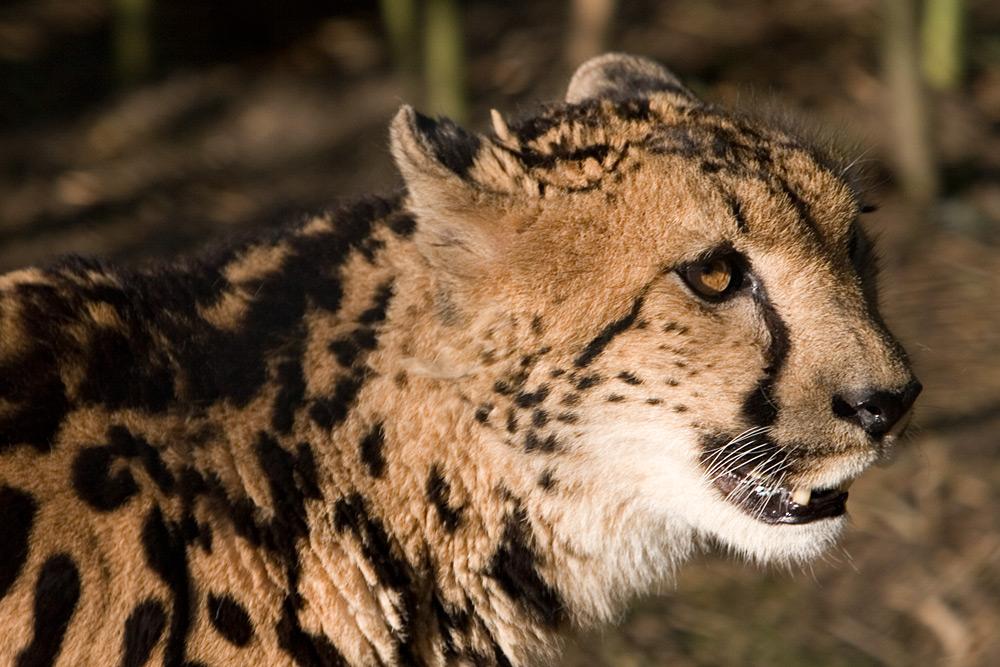 Königsgepardin