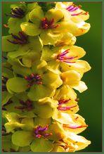 Königskerzen in voller Blütenpracht.