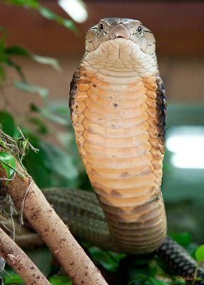 Königskobra 2
