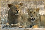 Königspaar von Savuti