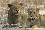 Raubtiere Afrika