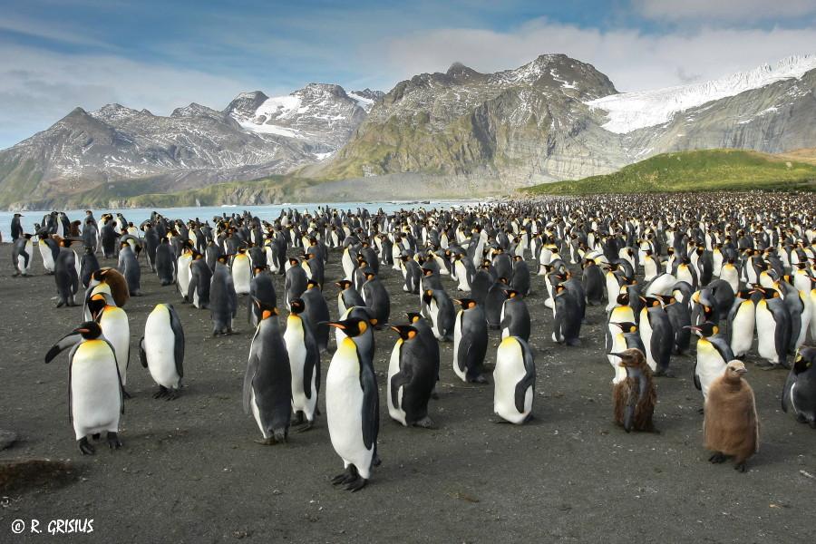 Königspinguine auf Südgeorgien ( Antarktis )