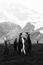 Königspinguine auf Südgeorgien