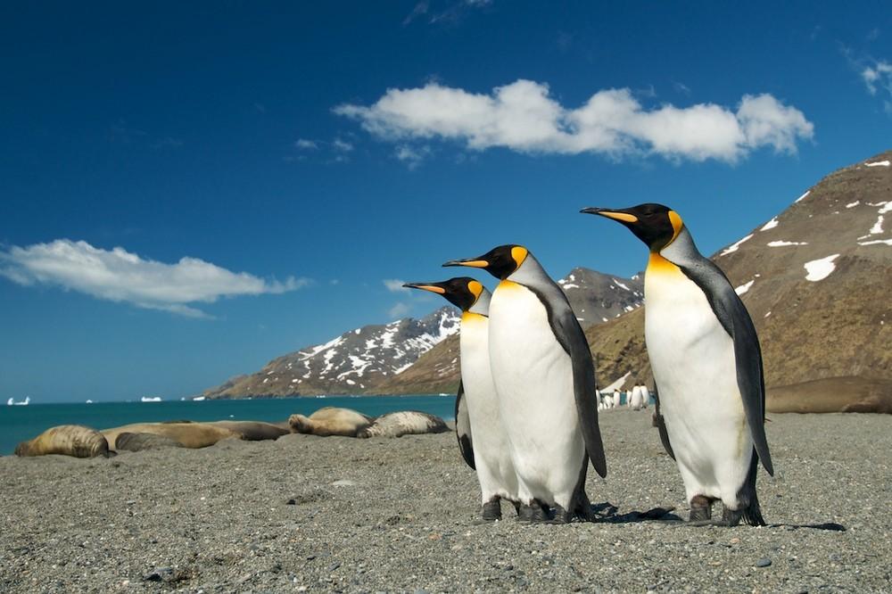 Königspinguine in der St. Andrews Bay auf Südgeorgien, Antarktis