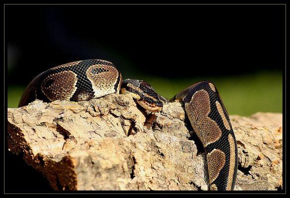 Königspython (Python regius)