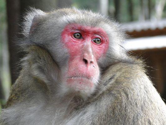 Können Affen traurig sein oder wovon träumt dieser Bursche weitab der Heimat???