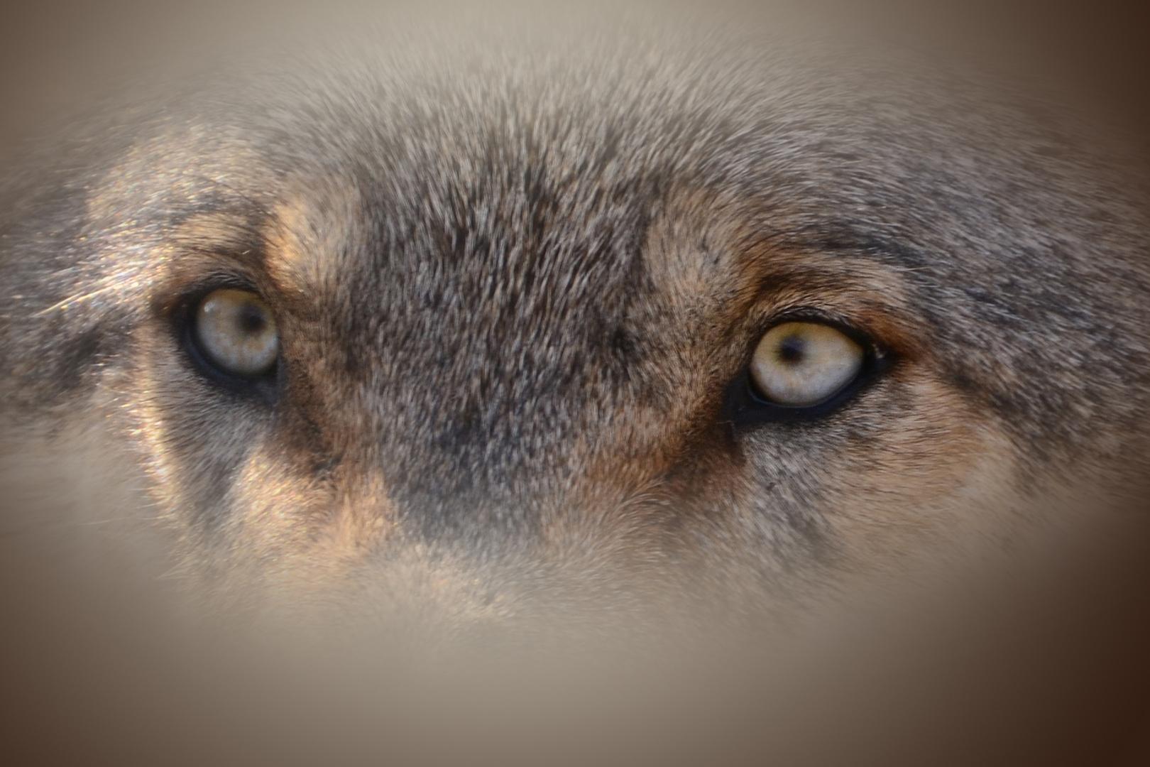 Können diese (Wolfs)augen lügen?