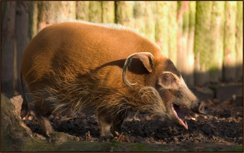 Können Schweine lachen ?