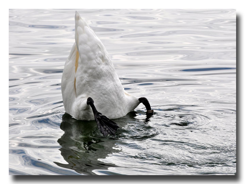 Köpfchen in das Wasser ...