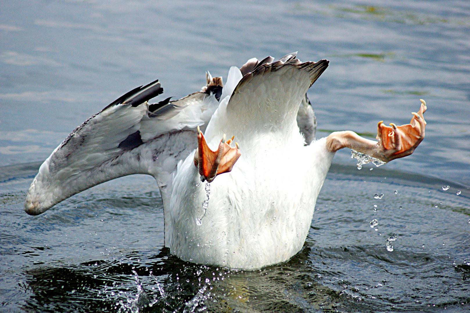 Köpfchen in das Wasser...