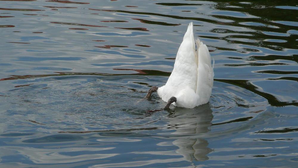 Köpfchen in das Wasser, Schwänzchen in die Höh'