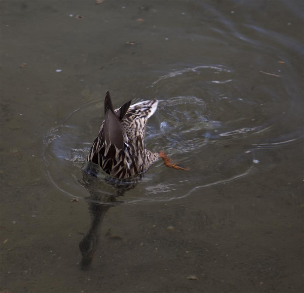 Köpfchen unter Wasser - Schwänzchen in die Höh'
