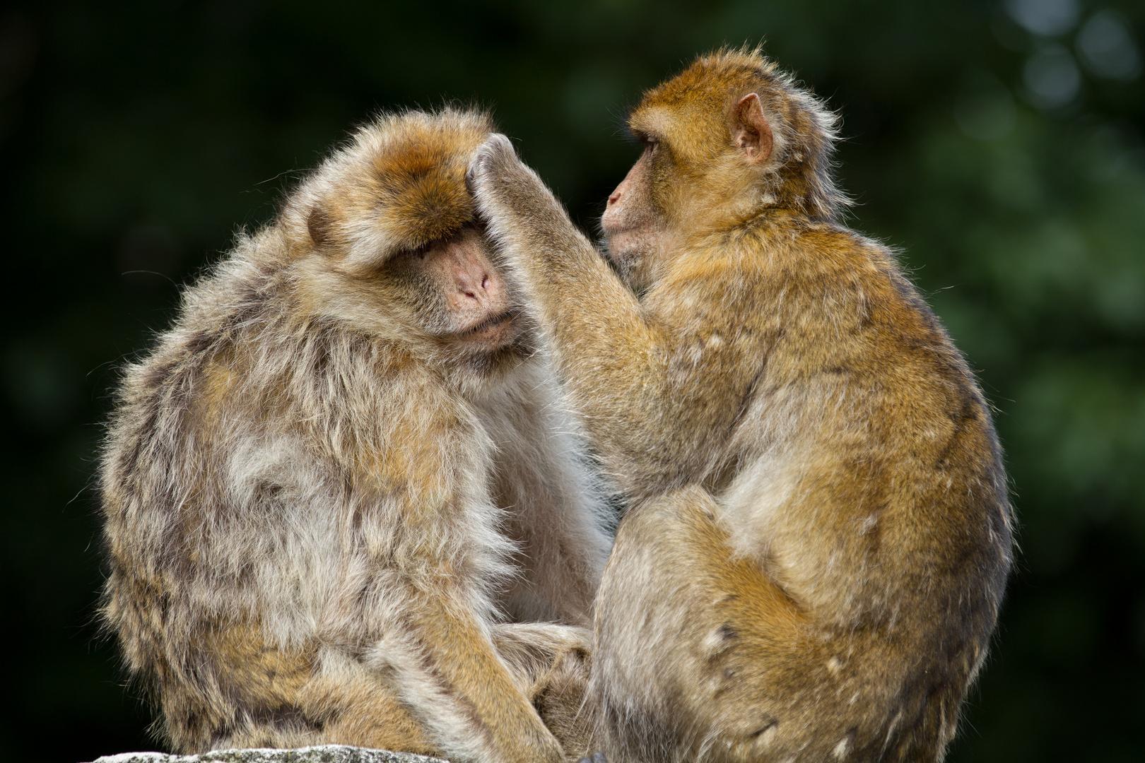 Körperpflege bei den Affen