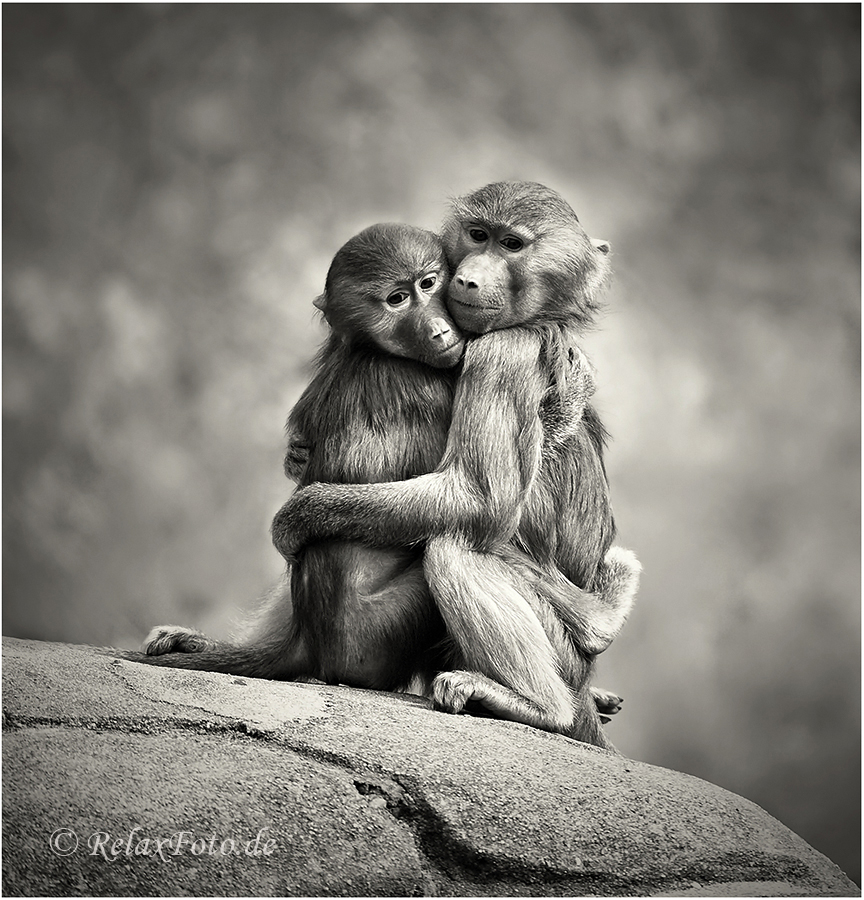 k rperw rme junge paviane in inniger umarmung foto bild tiere zoo wildpark falknerei. Black Bedroom Furniture Sets. Home Design Ideas