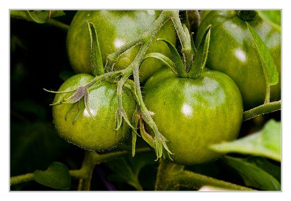 Köstliche Tomaten...