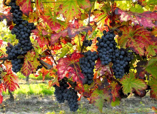 Köstliche Weintrauben aus der Pfalz