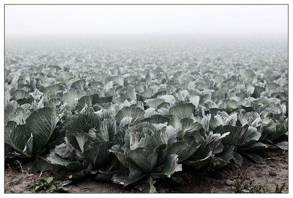 Kohl im Nebel