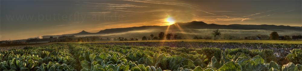 Kohlfeld am Morgen