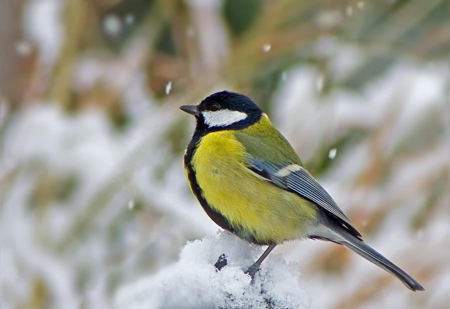 Kohlmeise im Schnee