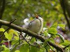 Kohlmeise (Parus major) - Bettelnder Jungvogel