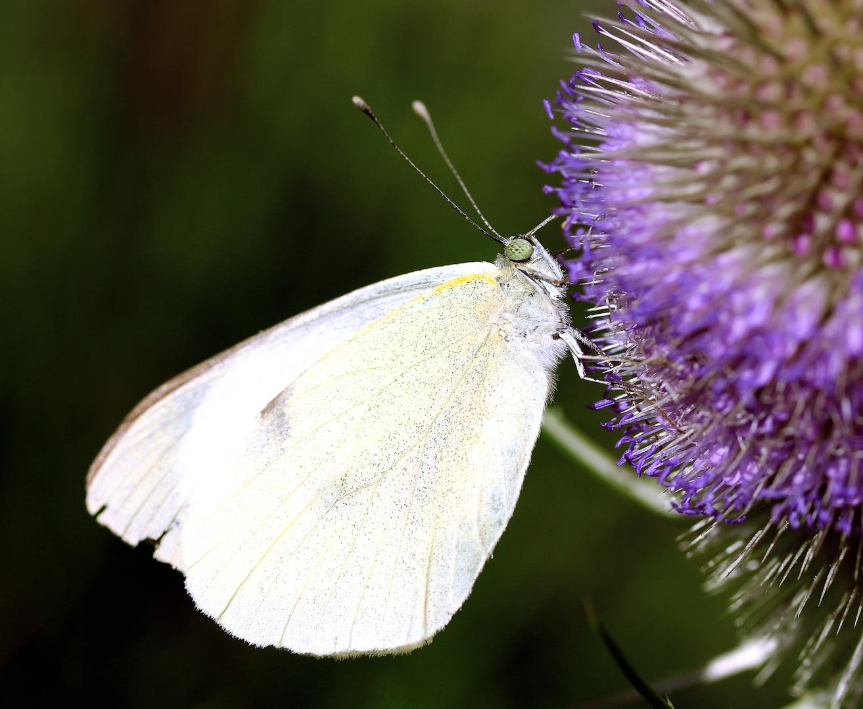 Kohlweißling an Blüte der wilden Karde