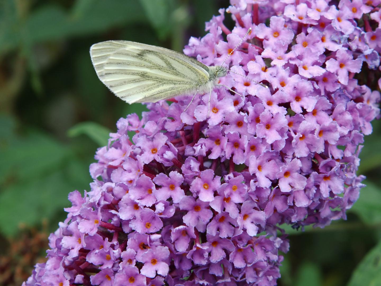 Kohlweißling auf dem Schmetterlingsflieder