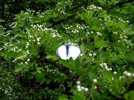 Kohlweißling auf Weißdornblüten