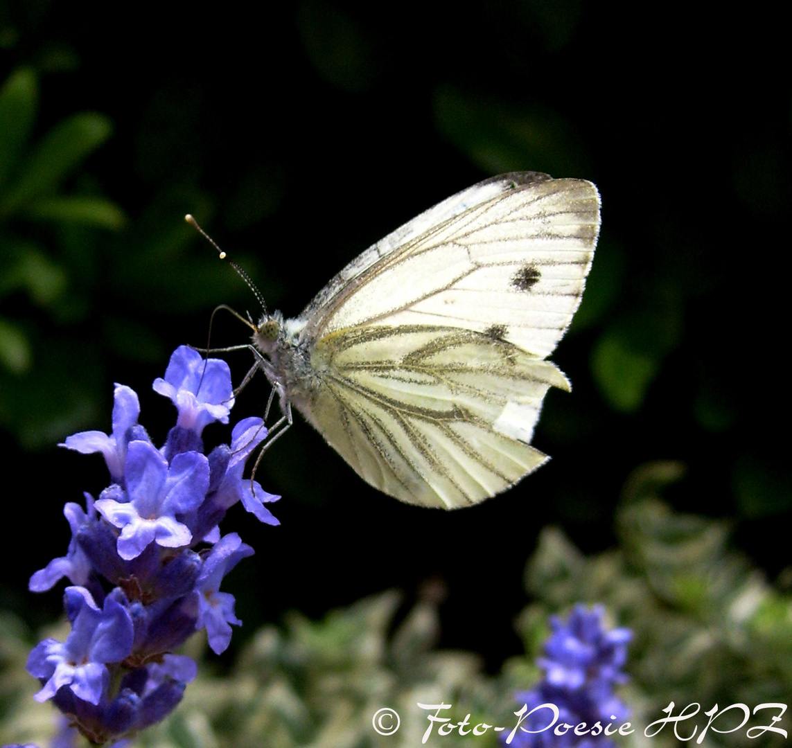 Kohlweisssling auf Lavendel
