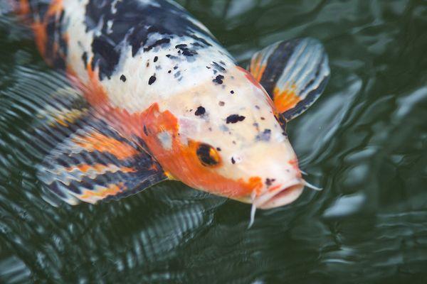 Koi karpfen fotos bilder auf fotocommunity for Koi mit goldfischen