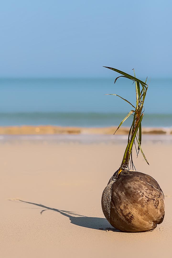 Kokosnuss bald Palme