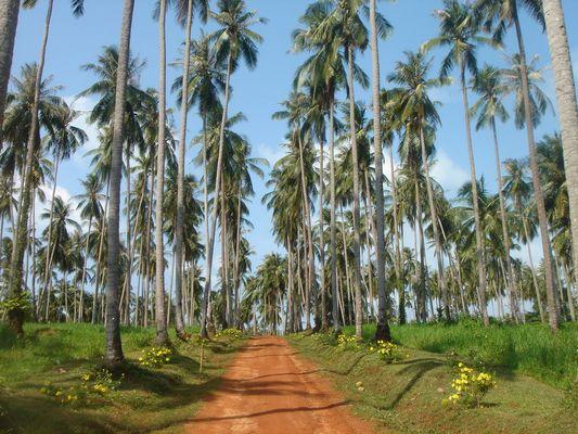 koksnussplantage in Ko Chang