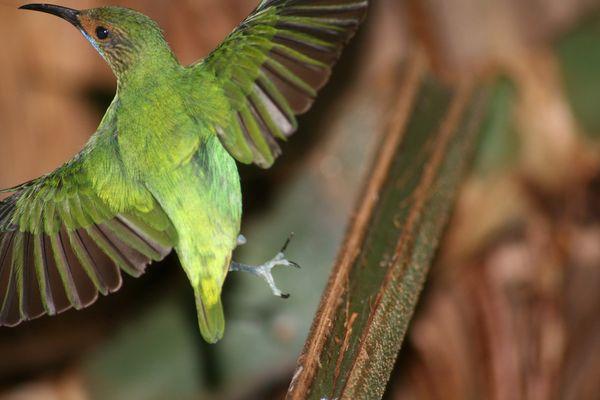 Kolibri beim Flug erwischt