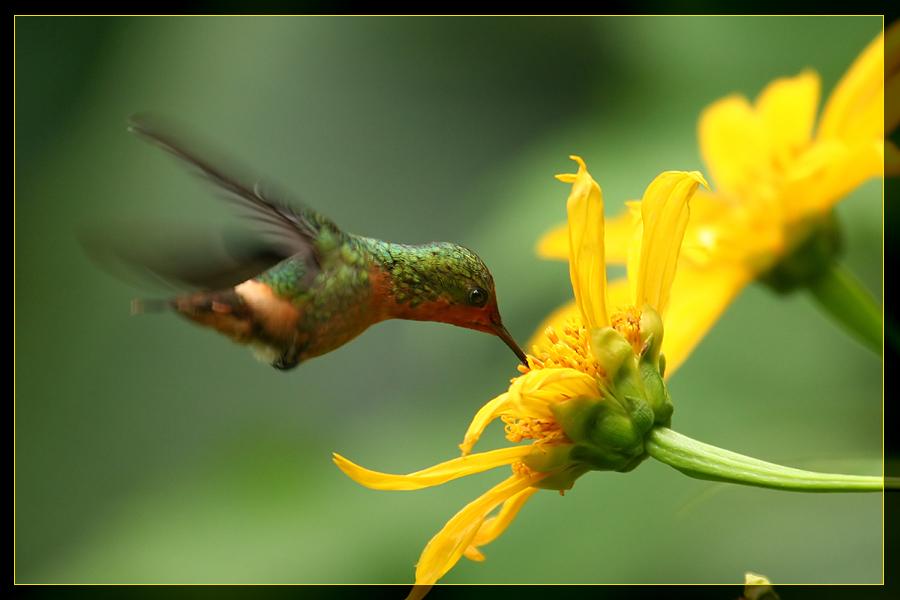 Kolibri beim Saugen