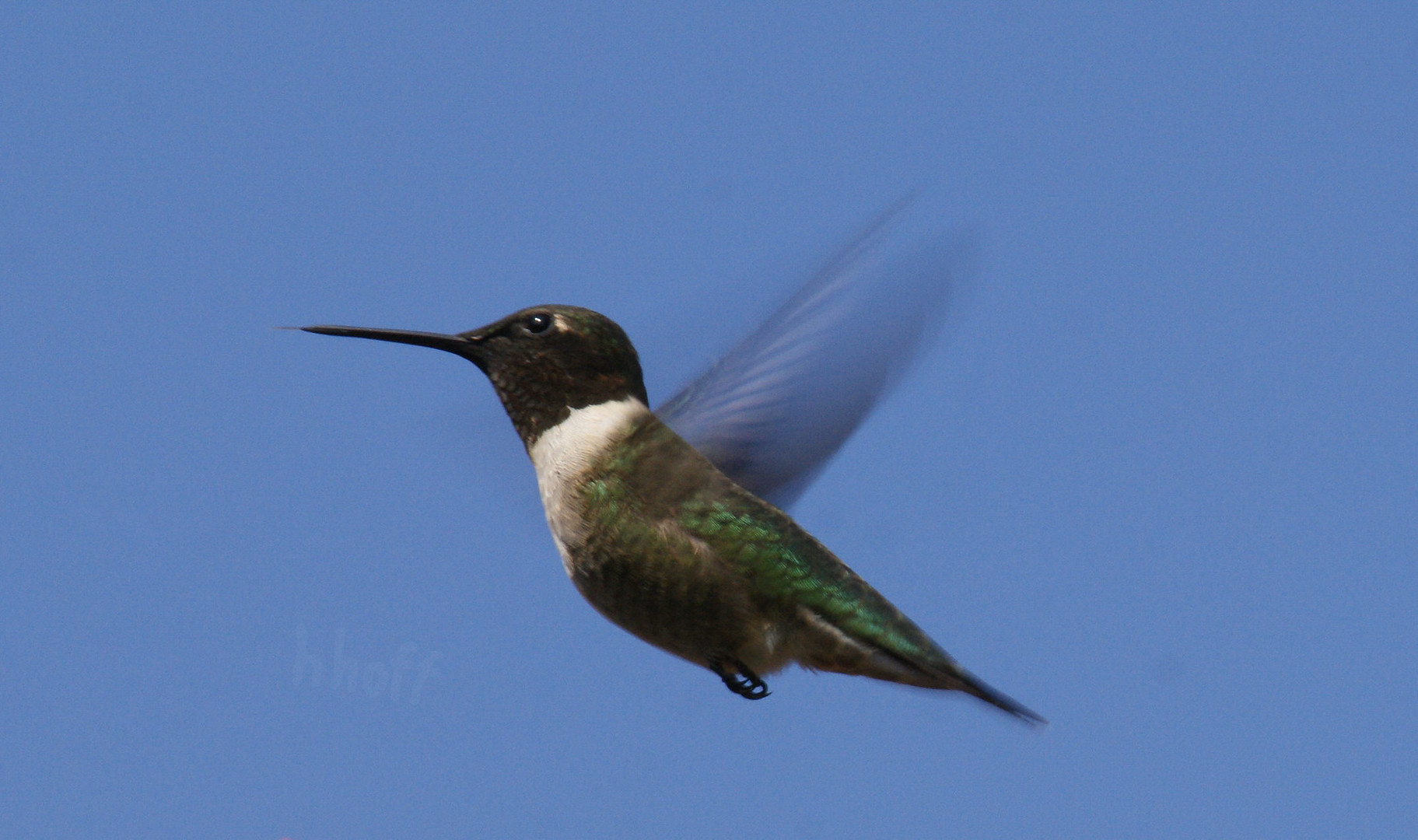 Kolibri - Black-chinned Humming Bird