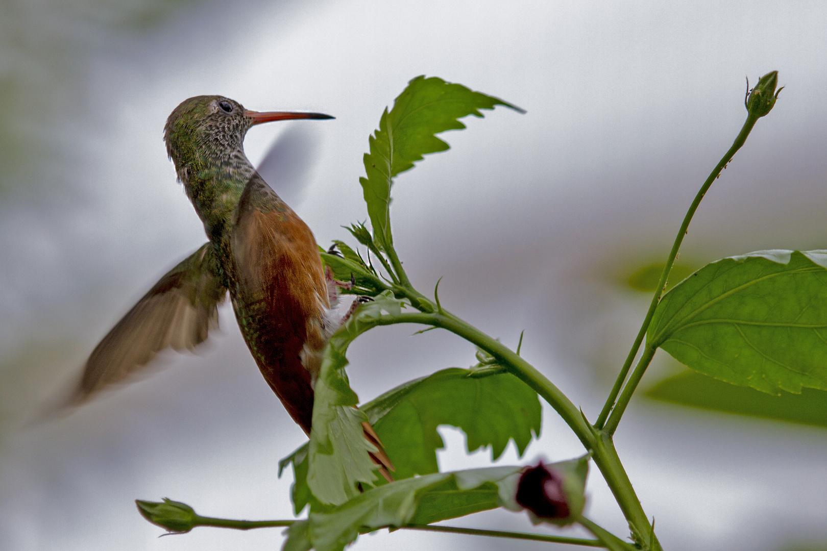 Kolibri im Abflug