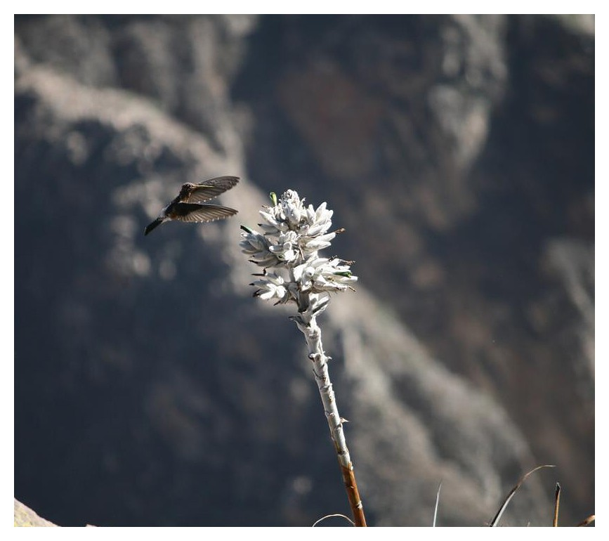 Kolibri im Colca-Canyon I