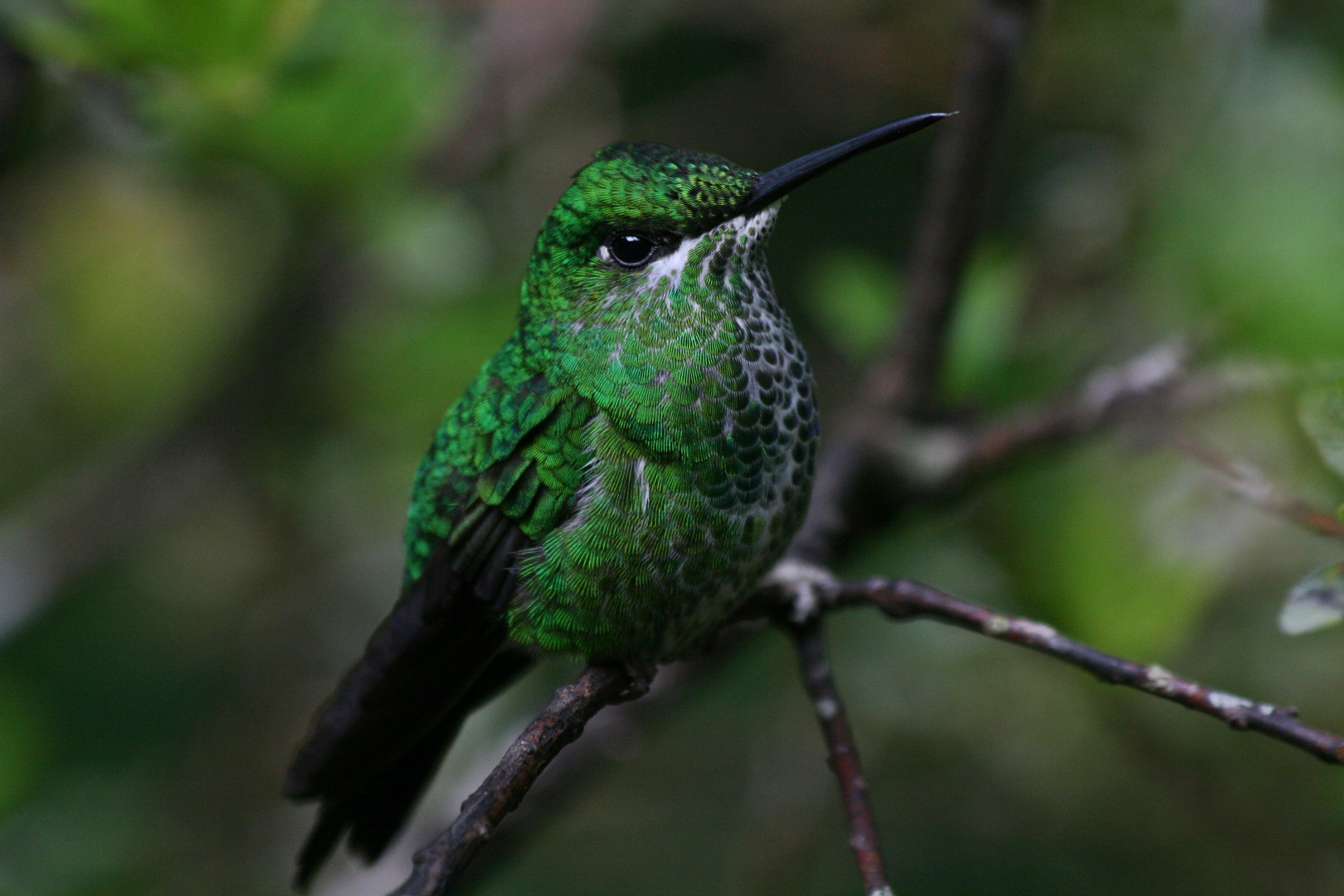 Kolibri im Monteverde Nebelwaldreservat