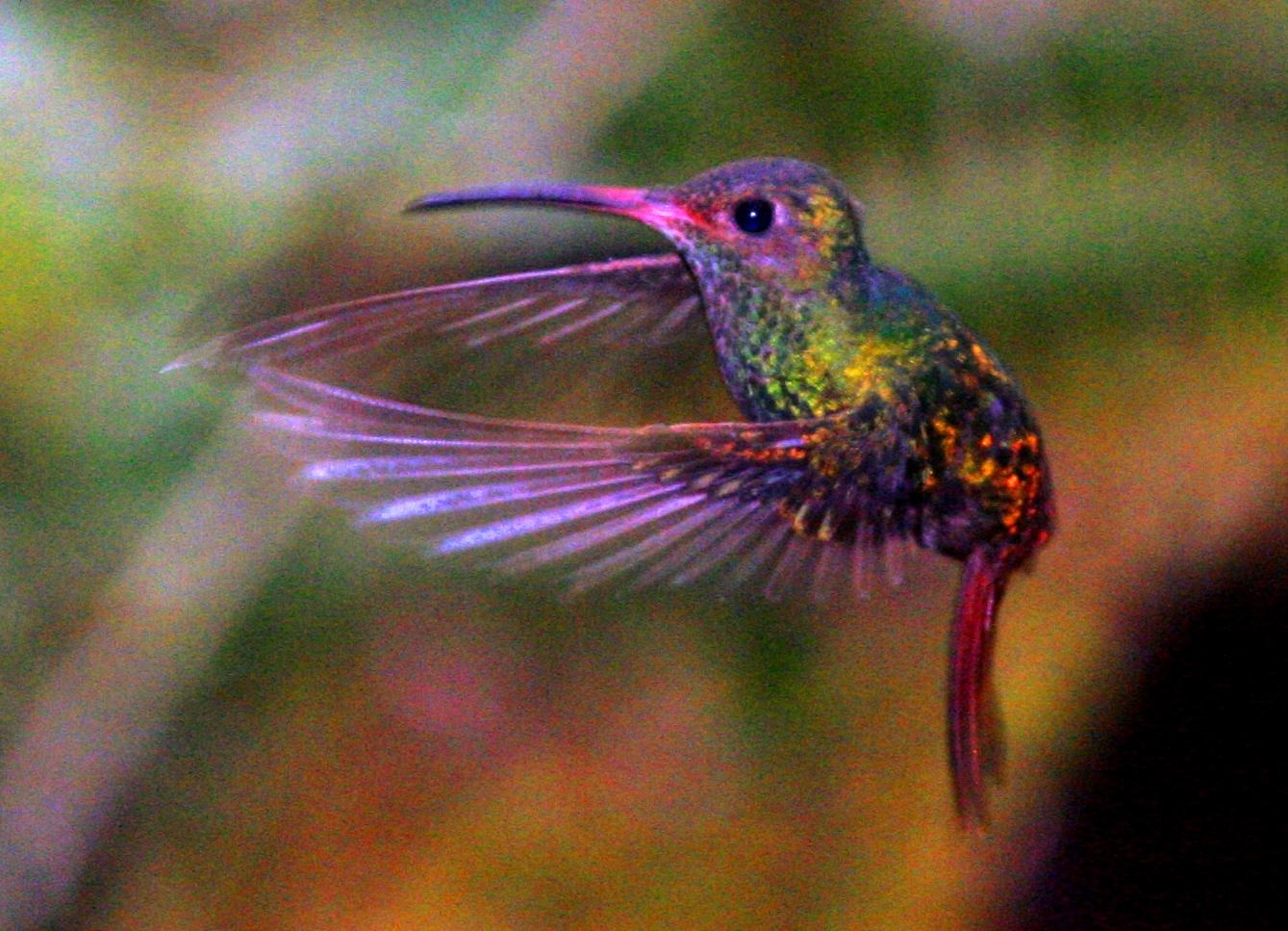 kolibri in ecuador foto bild tiere natur bilder auf fotocommunity. Black Bedroom Furniture Sets. Home Design Ideas