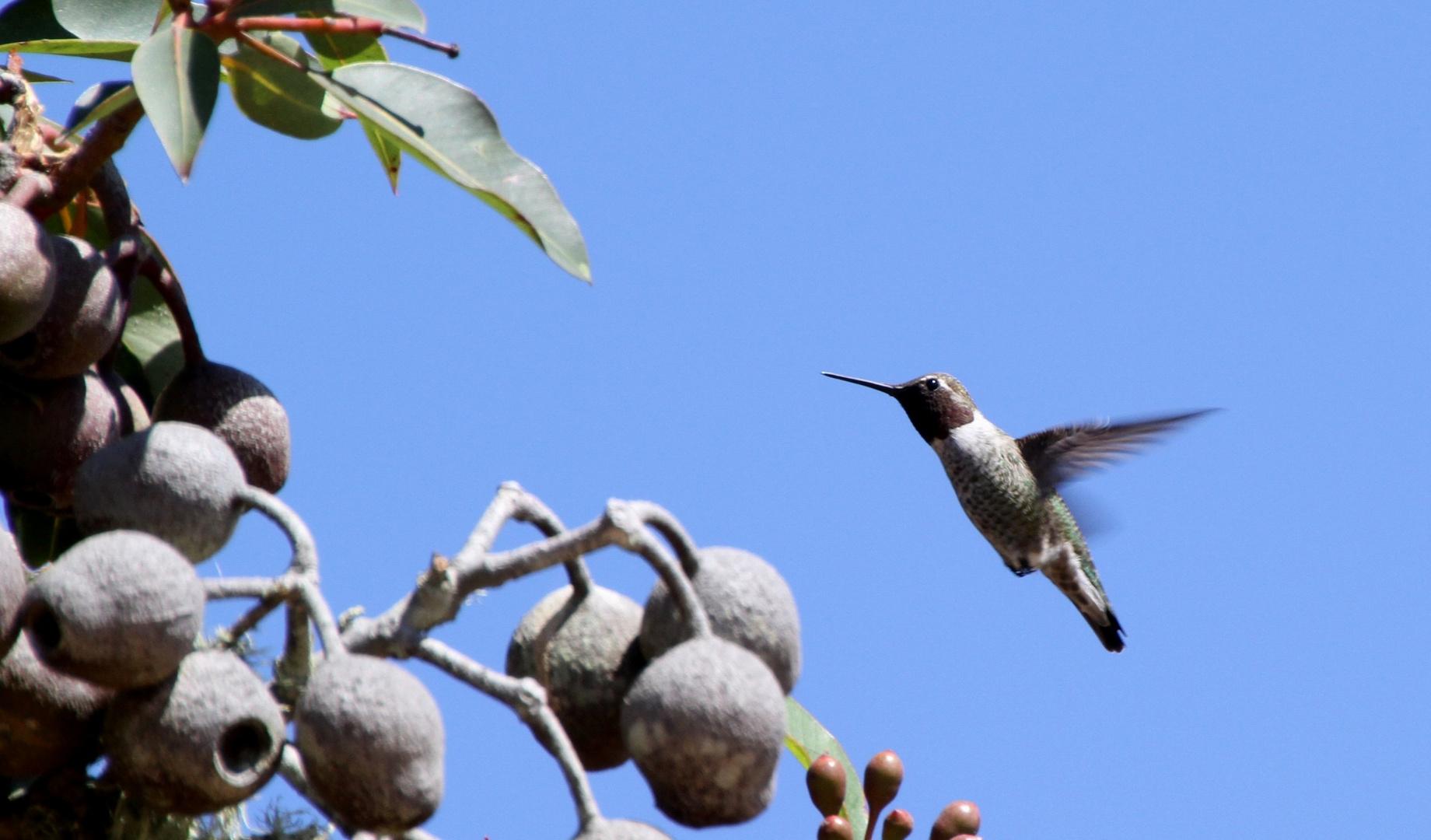 Kolibri in flight