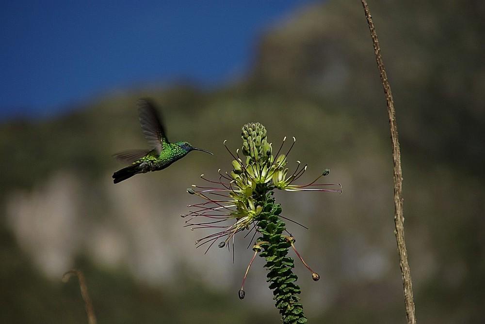 Kolibri in WIldlife
